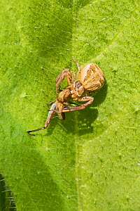 Crab Spider  (Xysticus cristatus)  With young grasshopper prey  Sutcliffe Park Nature Reserve, London., Eltham, London, UK.  May  -  Rod Williams