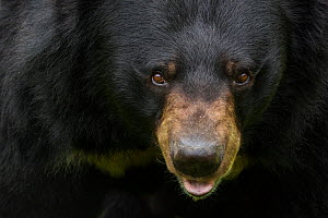Asiatic black / Moon bear (Ursus thibetanus) portrait, captive, occurs in the Himalayas. Vulnerable species.  -  Edwin  Giesbers