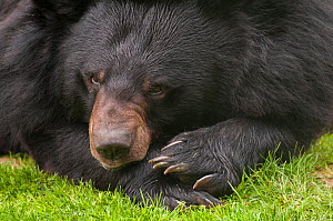 Asiatic black / Moon bear (Ursus thibetanus) resting, captive, occurs in the Himalayas. Vulnerable species.  -  Edwin  Giesbers