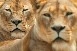 Lion (Panthera leo) portrait of two lionesses, captive, occur in Africa. - Edwin  Giesbers