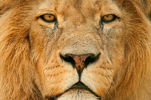 Male Lion (Panthera leo) portrait, close-up of face, captive, occurs in Africa. - Edwin  Giesbers