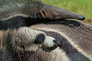 Giant anteater (Myrmecophaga tridactyla) baby resting on mother's back, captive, occurs in Central and South America. Vulnerable species. - Edwin  Giesbers
