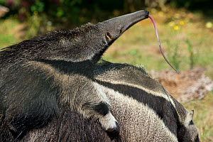 Giant anteater (Myrmecophaga tridactyla) baby sticking out tongue, on mother's back, captive, occurs in Central and South America. Vulnerable species. - Edwin  Giesbers