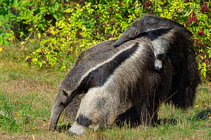 Giant anteater (Myrmecophaga tridactyla) carrying baby on back, captive, occurs in Central and South America. Vulnerable species. - Edwin  Giesbers