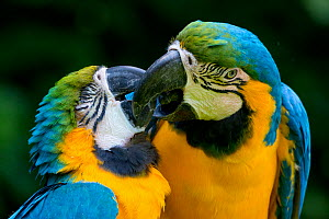 Blue and yellow macaw (Ara ararauna) pair, captive, occurs in South America.  -  Edwin  Giesbers