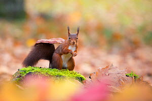 Red squirrel (Sciurus vulgaris) on moss covered stone in front of toadstool, in autumnal woodland leaf litter, The Netherlands, November.  -  Edwin  Giesbers
