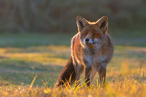Red fox (Vulpes vulpes) portrait, Amsterdamse Waterleidingduinen, near Zandvoort, The Netherlands, November.  -  Edwin  Giesbers