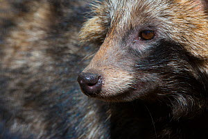 Raccoon dog (Nyctereutes procyonoides) portrait, captive, occurs in East Asia. - Edwin  Giesbers