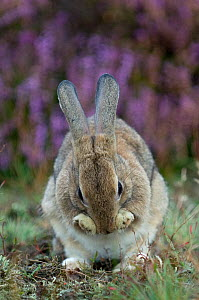 European rabbit (Oryctolagus cuniculus) grooming, The Netherlands, September.  -  Edwin  Giesbers