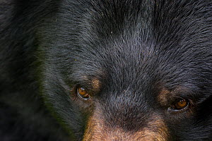 Asiatic black bear / Moon bear (Ursus thibetanus) close up of face, captive, occurs in the Himalayas. Vulnerable species.  -  Edwin  Giesbers