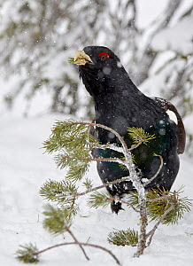 Male Capercaillie (Tetrao urogallus) feeding on pine needles in snow, Kuusamo, Finland, April. - Markus Varesvuo