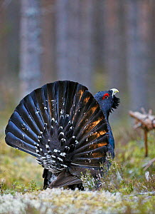 Male Capercaillie (Tetrao urogallus) displaying, Jalasjarvi, Finland, April. - Markus Varesvuo