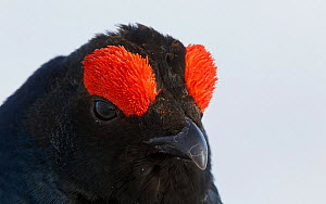 Male Black grouse (Tetrao / Lyrurus tetrix) portrait, Utajarvi, Finland, May. - Markus Varesvuo
