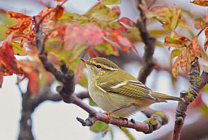 Yellow browed warbler (Phylloscopus inornatus) perched on twig, Uto, Finland, September.  -  Markus Varesvuo