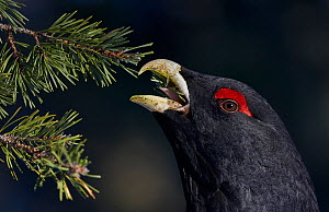 Male Capercaillie (Tetrao urogallus) feeding on pine needles, Kuusamo, Finland, March. - Markus Varesvuo