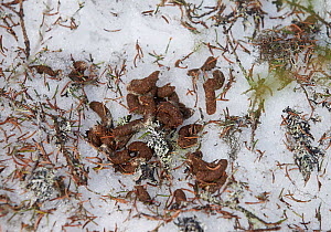 Hazel grouse (Tetrastes / Bonasa bonasia) droppings amongst pine needles and lichen on snow, Kuusamo, Finland, April. - Markus Varesvuo