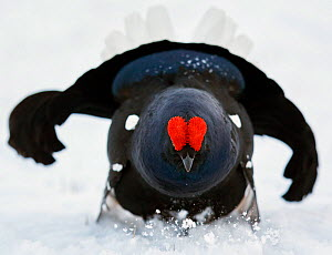 Male Black grouse (Tetrao / Lyrurus tetrix) in snow, Utajarvi, Finland, May.  -  Markus Varesvuo