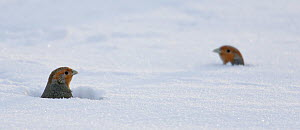 Two Grey partridge (Perdis perdix) heads looking out from snow, Liminka, Finland, February. - Markus Varesvuo