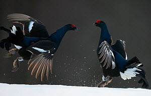 Two male Black grouse (Tetrao / Lyrurus tetrix) fighting, Kuusamo, Finland, April. - Markus Varesvuo