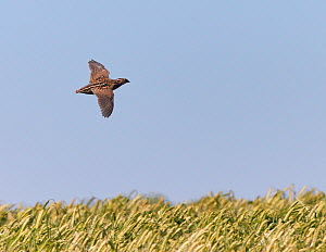 Common quail (Coturnix coturnix) flying over field, Spain, May.  -  Markus Varesvuo