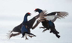 Two male Black grouse (Tetrao / Lyrurus tetrix) fighting, Utajarvi, Finland, April. - Markus Varesvuo