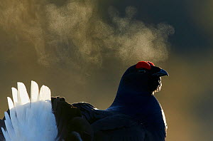 Male Black grouse (Tetrao / Lyrurus tetrix) with breath visible in cold, Liminka, Finland, March. - Markus Varesvuo