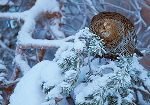 Female Black grouse (Tetrao / Lyrurus tetrix) feeding on pine needles, Inari Kiilopaa, Finland, January. - Markus Varesvuo