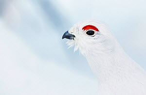 Male Willow grouse / Ptarmigan (Lagopus lagopus) portrait, Inari Kiilopaa, Finland, February.  -  Markus Varesvuo