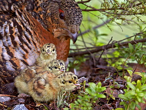 Female Capercaillie (Tetrao urogallus) with three chicks, Kuhmo, Finland, June. - Markus Varesvuo