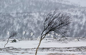 Willow grouse (lagopus lagopus) flock in flight in snow, Utsjoki, Finland, October.  -  Markus Varesvuo