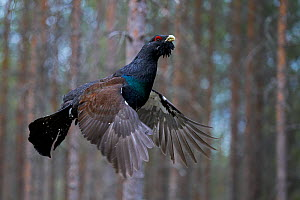 Male Capercaillie (Tetrao urogallus) flying, Jalasjarvi, Finland, April.  -  Markus Varesvuo