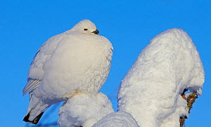 Willow grouse / Ptarmigan (Lagopus lagopus) fluffed up perched in snow, Inari, Finland, February. - Markus Varesvuo