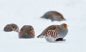 Four Grey partridges (Perdix perdix) on snow, Kauhajoki, Finland, January.  -  Markus Varesvuo
