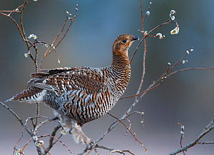 Female Black grouse (Tetrao / Lyrurus tetrix) perched in Willow feeding, Utajarvi, Finland, May. - Markus Varesvuo