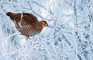 Female Black grouse (Tetrao / Lyrurus tetrix) perched in tree covered in snow, Inari Kiilopaa, Finland, January. - Markus Varesvuo