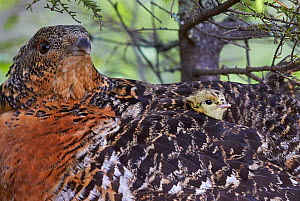 Female Capercaillie (Tetrao urogallus) with a chick looking out from between feathers, Vaala, Finland, June.  -  Markus Varesvuo