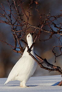 Willow grouse / Ptarmigan (Lagopus lagopus) pecking twig, Utsjoki, Finland, April. - Markus Varesvuo