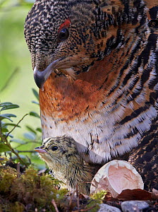 Female Capercaillie (Tetrao urogallus) with newly hatched chick on nest, Kuhmo, Finland, June. - Markus Varesvuo