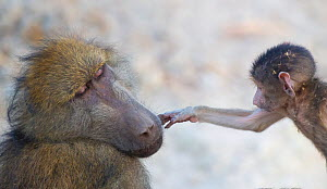 Chacma Baboon (Papio hamadryas ursinus) baby gently touching the face of the dominant male baboon. Chobe National Park Botswana.  -  Wim van den Heever