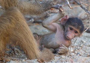 Chacma baboon (Papio hamadryas ursinus) on ground near mother, Chobe National Park Botswana.  -  Wim van den Heever