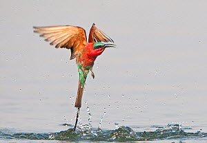 Southern Carmine Bee-Eater (Merops nubicoides) taking off after bathing in the river, Zambezi River, Namibia.  -  Wim van den Heever