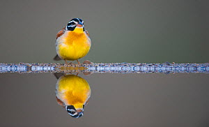 Golden breasted bunting (Emberiza flaviventris) reflected in water, Zimanga Private Game Reserve, South Africa.  -  Wim van den Heever