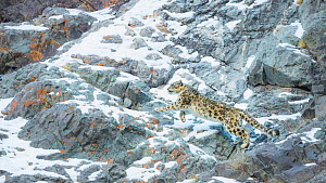 Snow Leopard (Panthera uncia) climbing up mountain slope, Hemis National Park, India, February. - Wim van den Heever