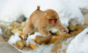 Japanese macaque (Macaca fuscata) youngster jumping over small stream, Jigokudani, Nagano, Japan. February. - Wim van den Heever