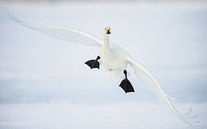Whooper swan (Cygnus cygnus) mid flight over the frozen lake, Kussharo, Hokkaido, Japan.  -  Wim van den Heever