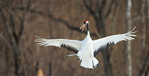 Japanese crane (Grus japonensis) jumping in the air, Hokkaido, Japan, March.  -  Wim van den Heever