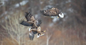 White tailed sea eagle (Haliaeetus albicilla) group of three fighting, Hokkaido Japan, March.  -  Wim van den Heever