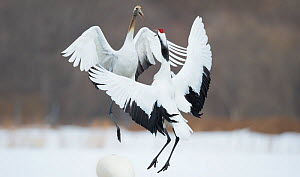 Japanese cranes (Grus japonensis) in courtship dance,  Hokkaido Japan, March. - Wim van den Heever