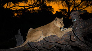 Lioness (Panthera leo) on fallen tree at sunset, Okavango Delta Botswana - Wim van den Heever