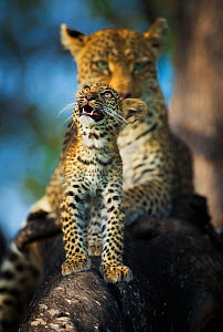 Leopard (Panthera pardus) cub looking up at birds (out of frame) with mother in background,  Khwai River, Botswana. Highly commended in the Mammals category of the Asferico Photography Competition 201... - Wim van den Heever